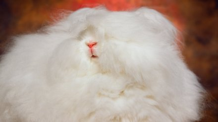 Photographer captures the unbelievable cuteness of angora show bunnies